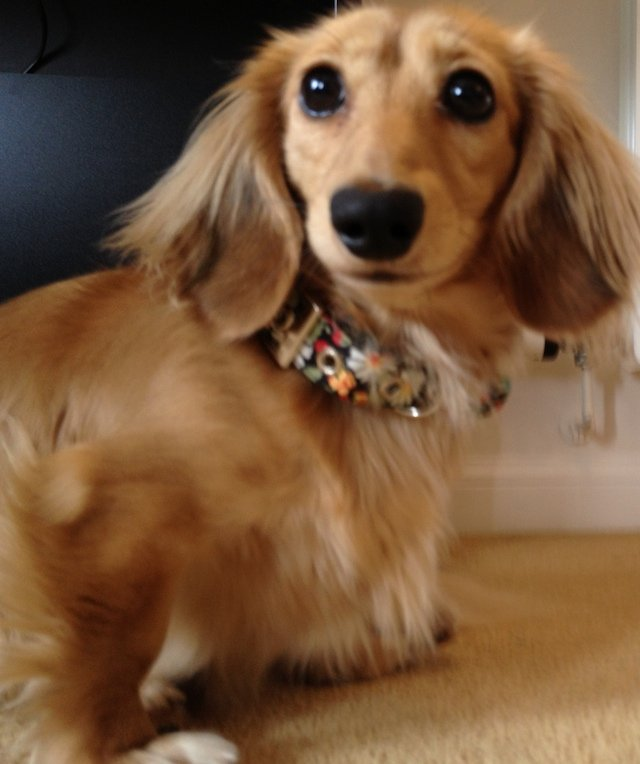 Dachshund wearing a BlossomCo dog collar