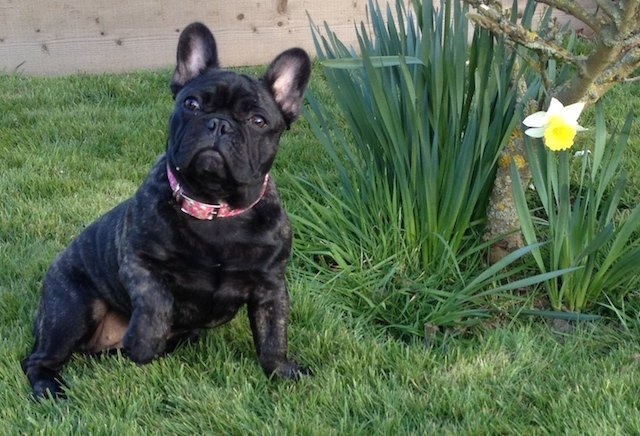French Bulldog Wearing BlossomCo Dog Collar for Spring