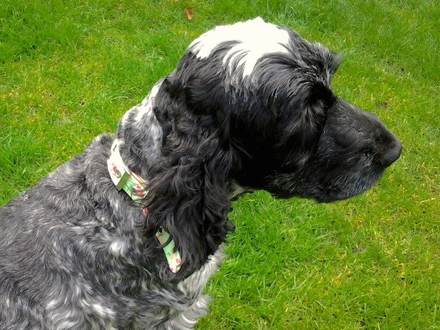 Ruby and her Henley BlossomCo Dog Collar