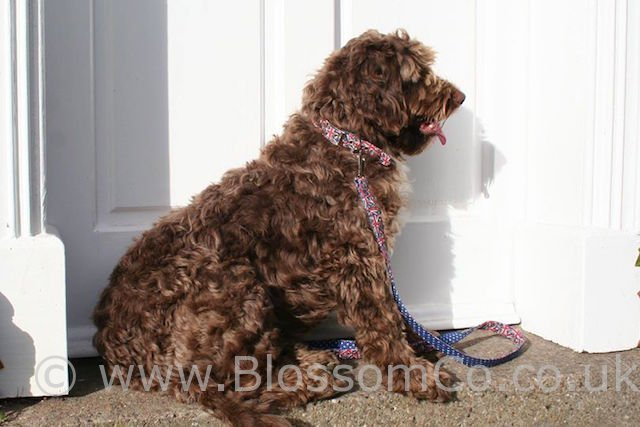 Union Jack Dog Collar and Lead